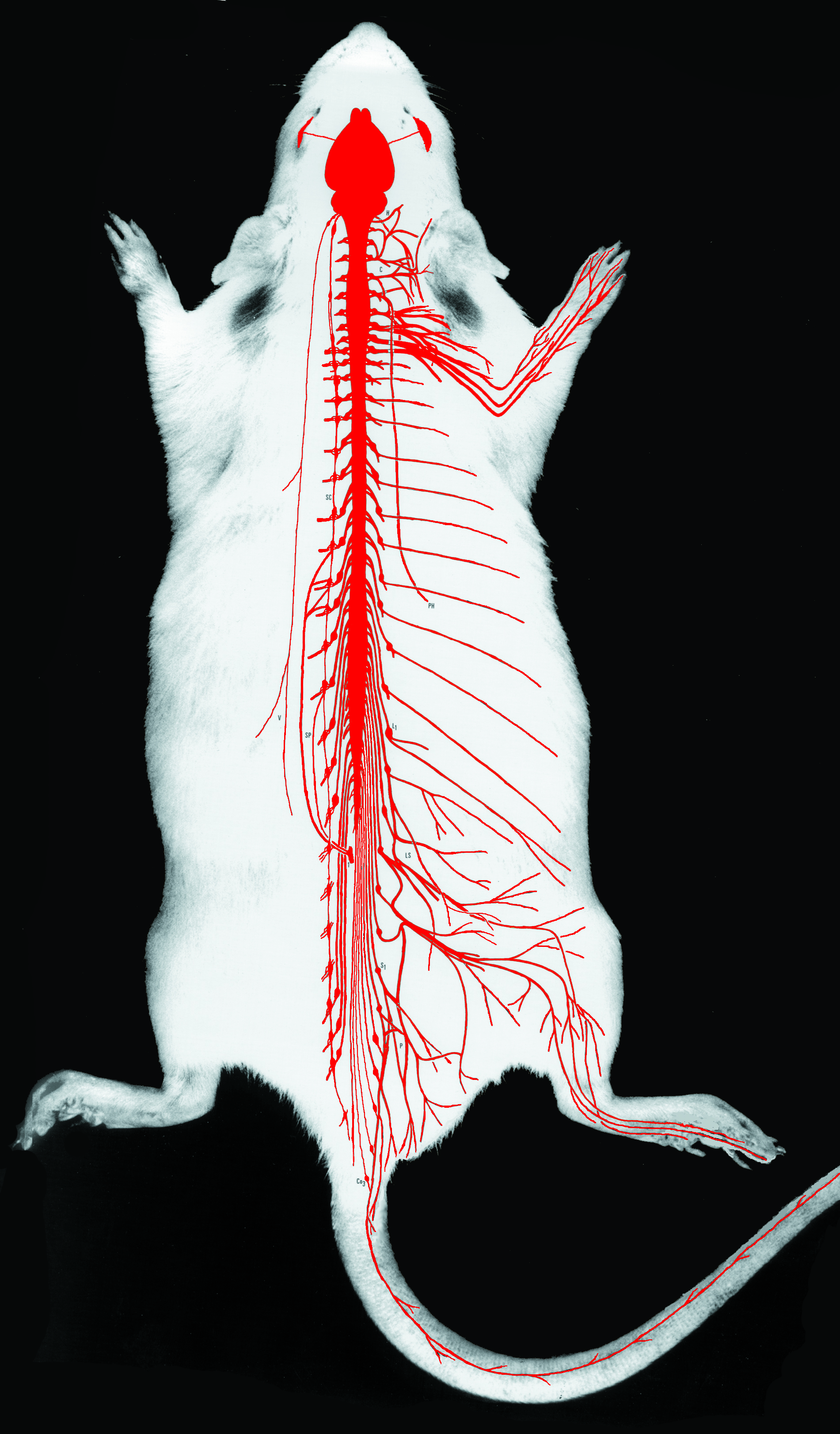 Rat anatomy muscles