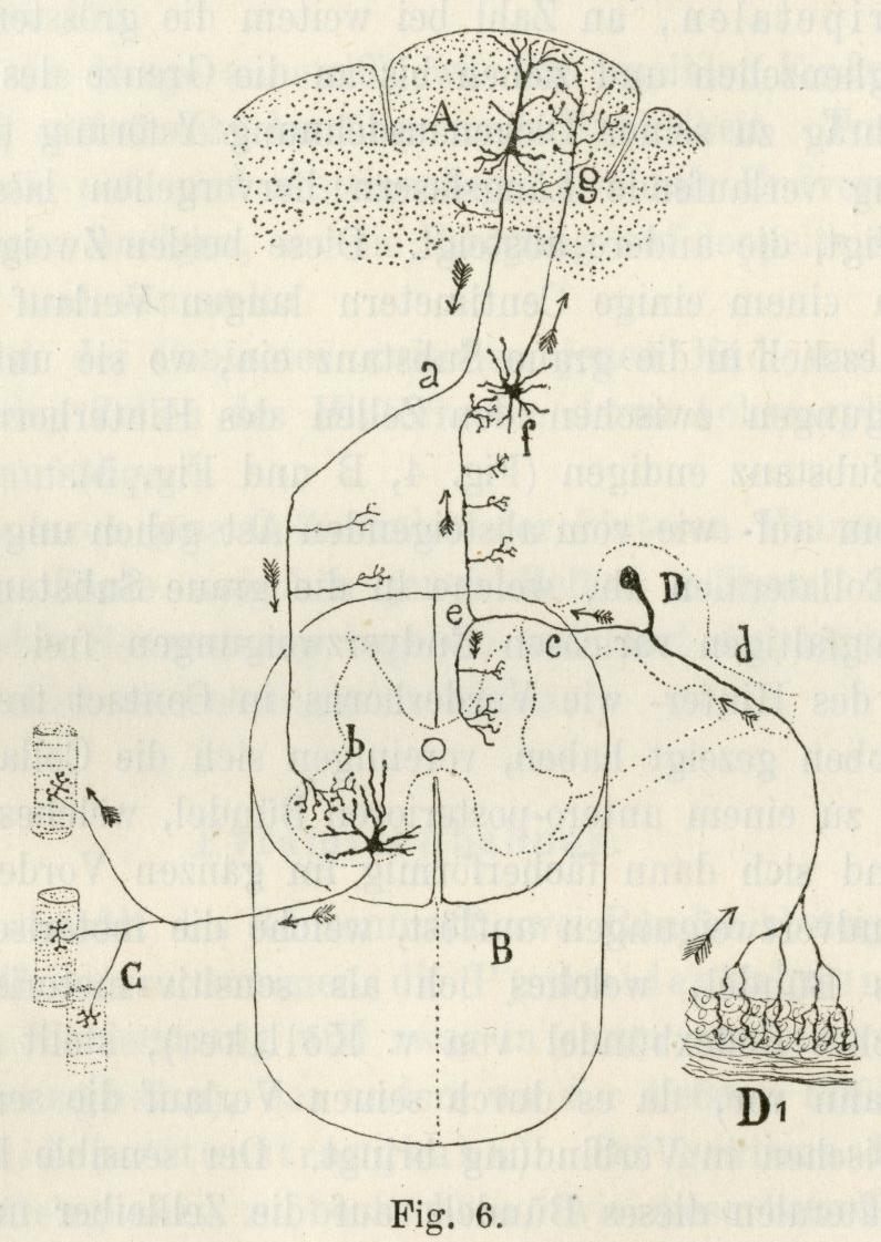 Cajal 1893 Reflex