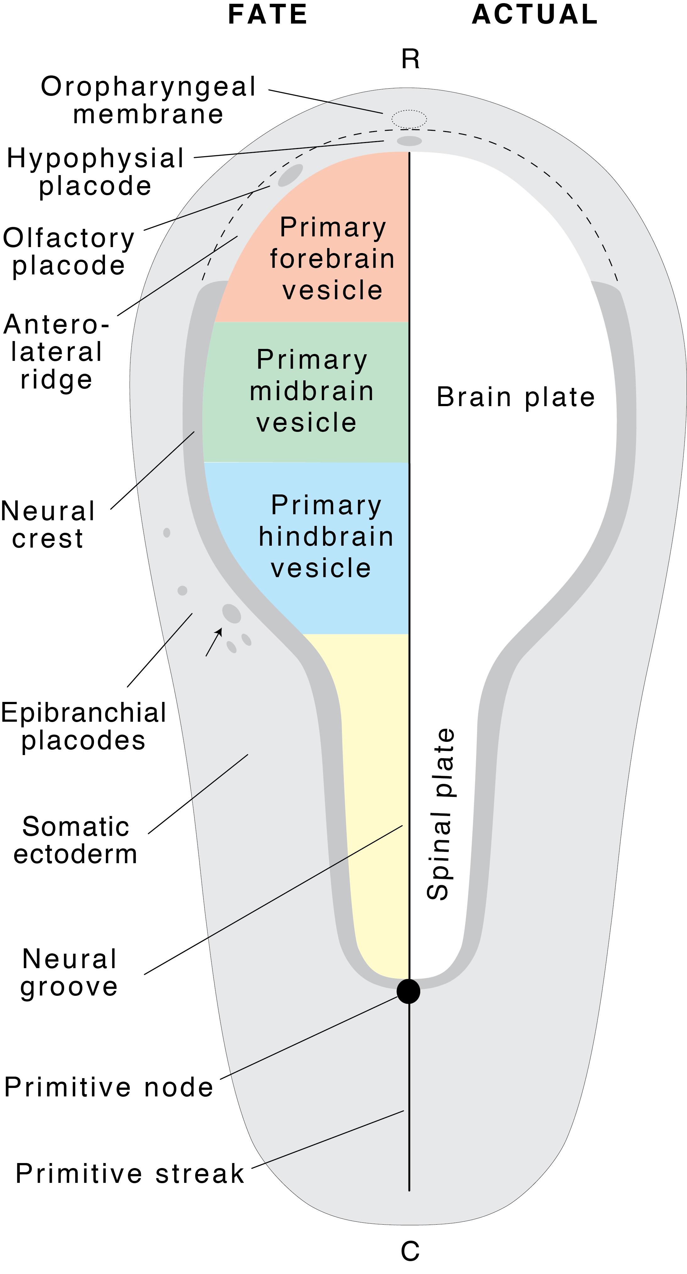 Neural plate fatemap